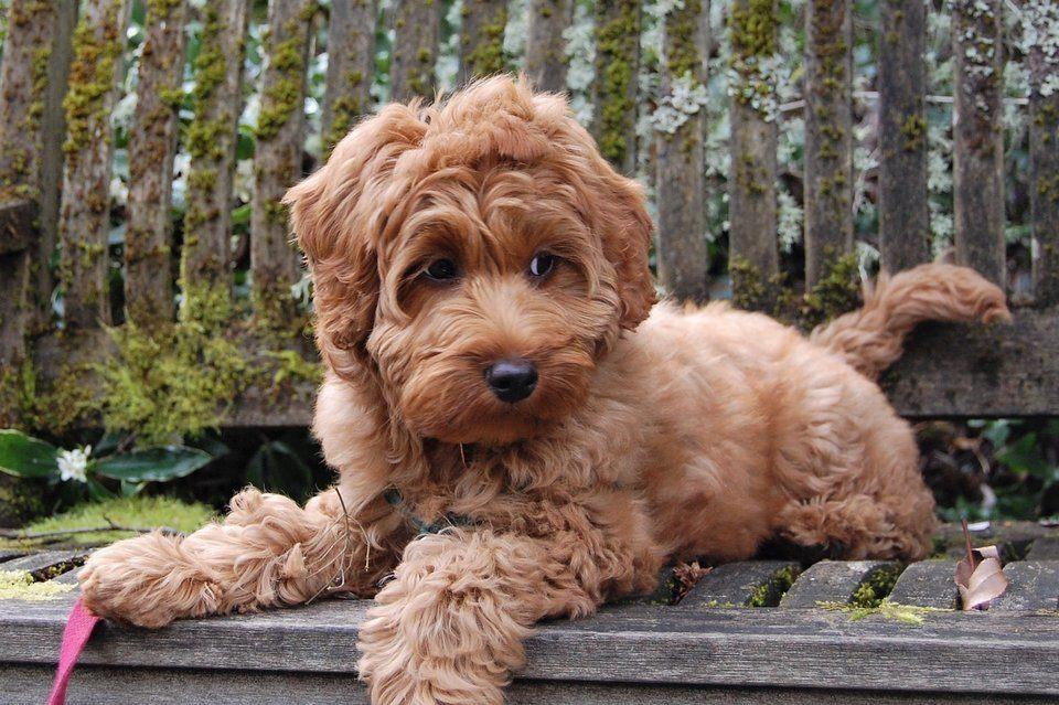 een australian labradoodle puppy kopen