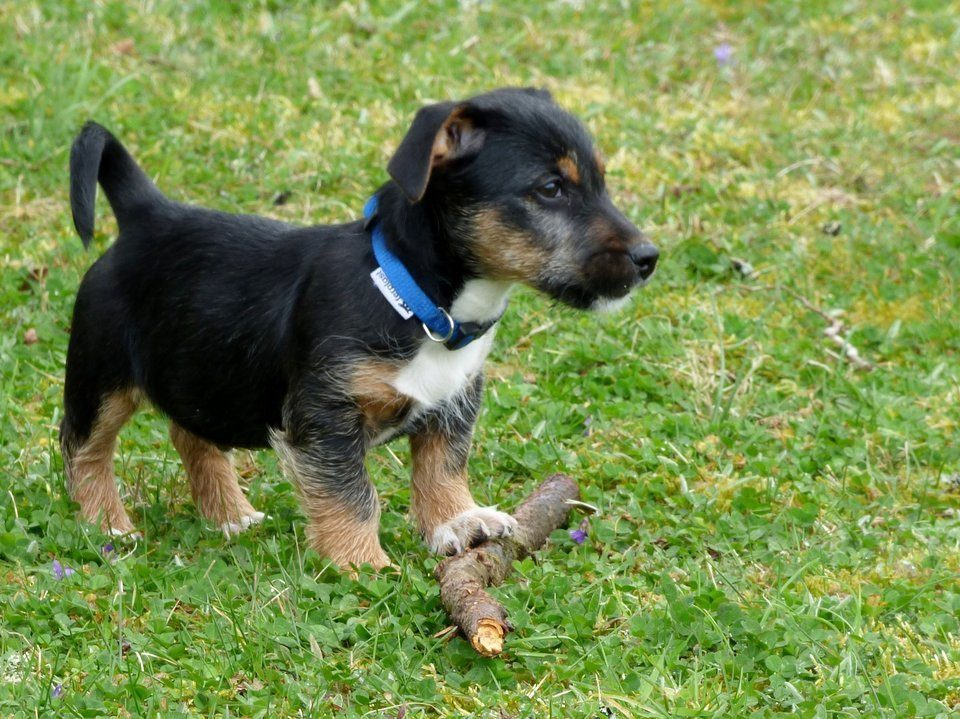 Jack Russell Pups Kopen